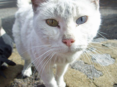 how does heterochromia affect cats?