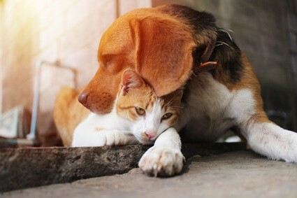what dogs get along with cats the best?