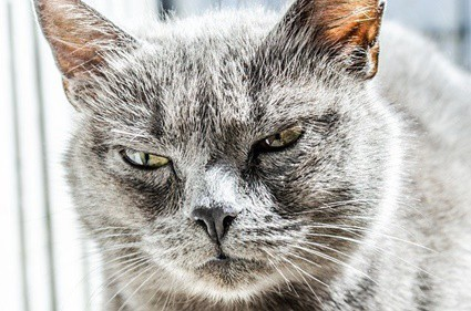 when do cats snort at other cats?