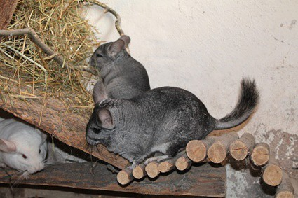 are chinchillas good with cats?