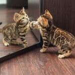 can cats recognize themselves in the mirror?