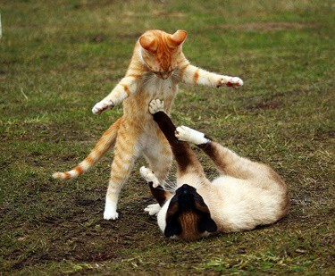 cat standing on hind legs fighting