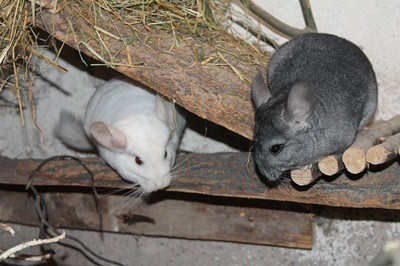 do cats and chinchillas get along