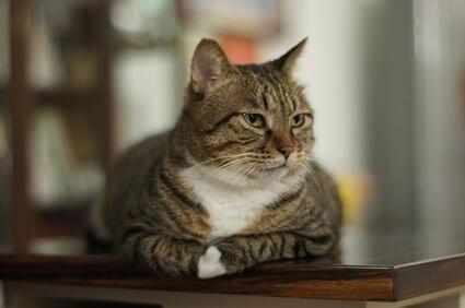 do cats attack chinchillas?