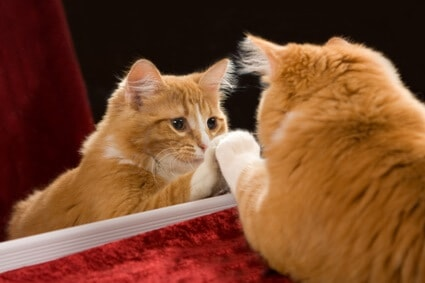 do cats have mirror recognition?