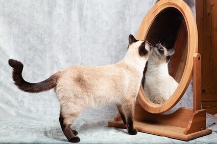 do cats understand mirrors?