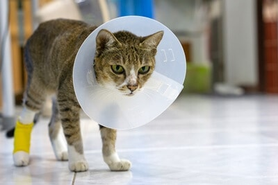 does cat saliva heal wounds?