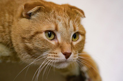 what does it mean when a cat's ears are forward?