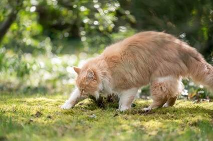 why do cats bury their food dish?