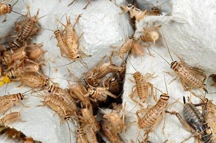 are crickets bad for cats?