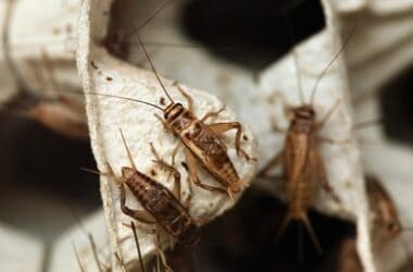 are crickets poisonous to cats?