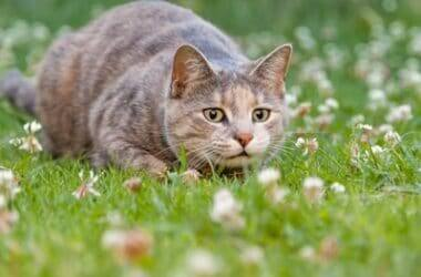 why do cats wiggle their bums before they pounce?
