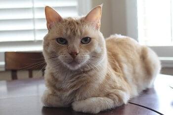 Cat Loaf Position