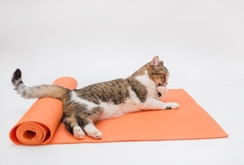 Cat Lying Flat on Stomach