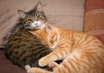 Cat Sleeping with Another Cat