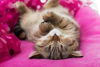 Cat is Lying Flat on Its Back