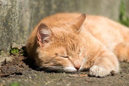 bald spot under cat's eye