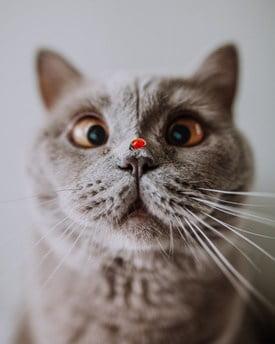 can ladybugs kill cats?