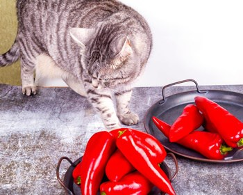 can spicy food hurt cats?