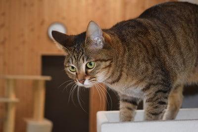 cat-hesitates-before-jumping