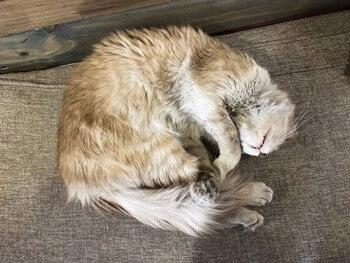 cat sleeping in fetal position