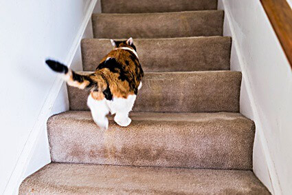 cat walking stiff back legs