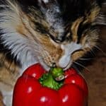 is spicy food bad for cats?