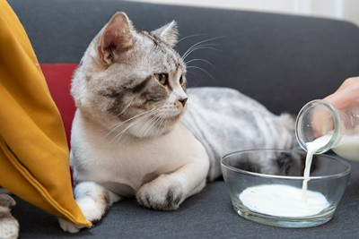 is there a milk substitute for cats?
