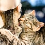 why do cats lick each other then hit each other?