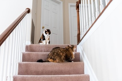 How do I stop my cat from destroying the carpet?