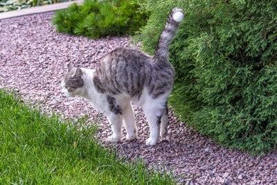 cat-shaking-tail-but-not-spraying