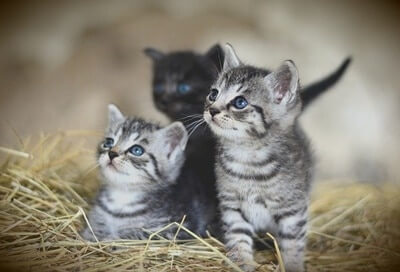 will a cat mate with its offspring?