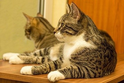 What happens if a mom cat gets pregnant by her son?