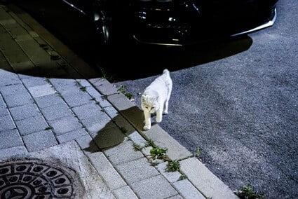 how far do cats roam at night?