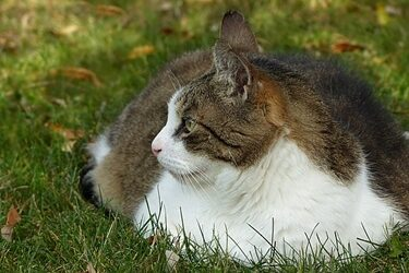 how long do obese cats live?