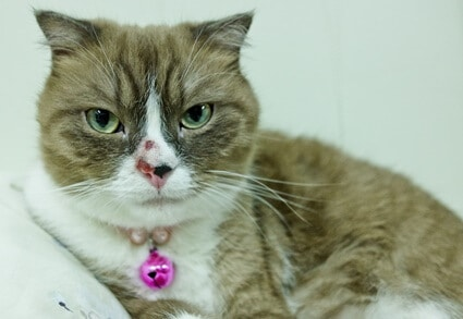 how to stop a cat's nose bleed