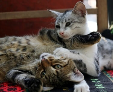 inbreeding cats father and daughter