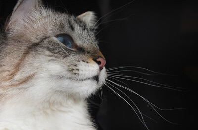 why does my cat have really long whiskers?