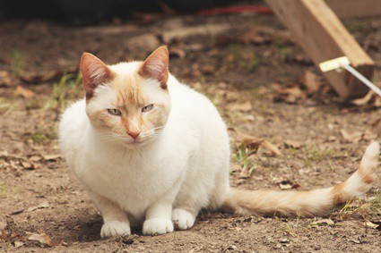 are flame point siamese cats mean?