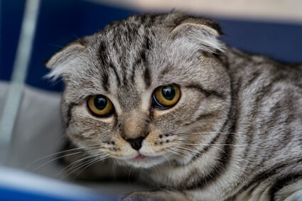 are flat faced cats healthy?
