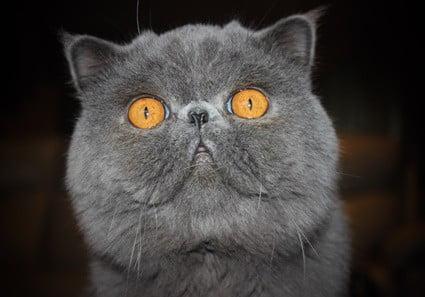 brachycephalic airway syndrome cats