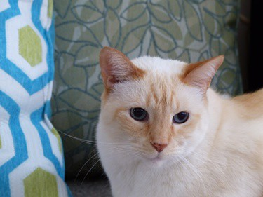 cat names for flame point Siamese