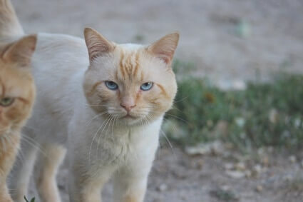 flame point siamese colors