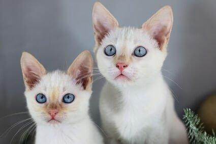 flame point siamese kitten names