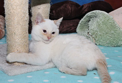 flame point siamese names and meanings