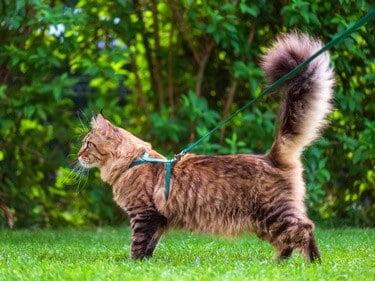 is walking a cat on a leash cruel?