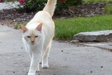 personality of flame point siamese cats