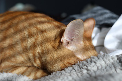 why do cats bury their heads when sleeping?
