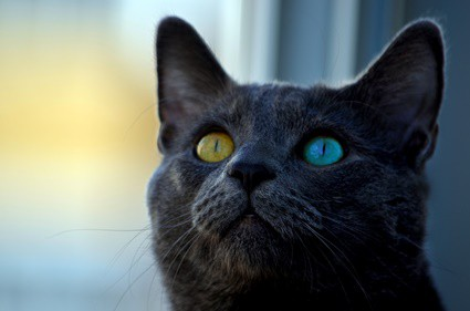 why do cats' eyes glow different colors?