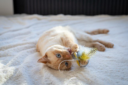 why does my cat carry toys and meow?